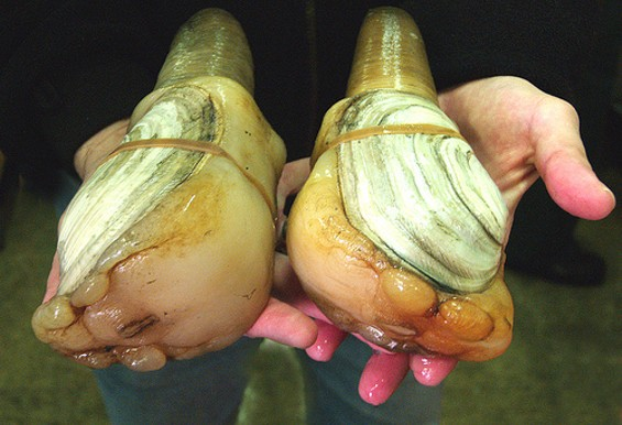 How could we have forgotten geoduck (GOO-ee-duck)? - USDA/FLICKR