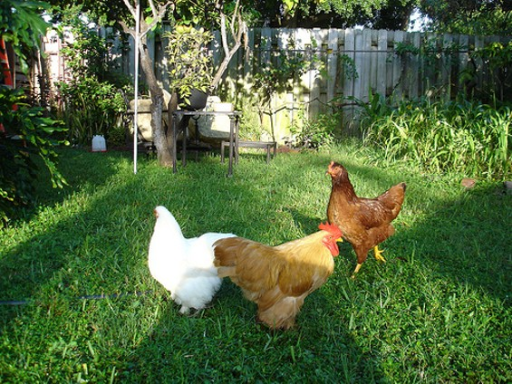 backyardchicks.jpg