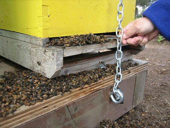 Just a few of the hundreds of thousands of bees killed Monday night. - HAYES VALLEY FARM