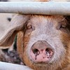 Just What You Need Before a Weekend of Rib-Eating: The Latest in Swine Flu Conspiracy News