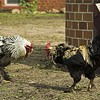 Kiva's Microloans Underwriting Cockfighting in Peru