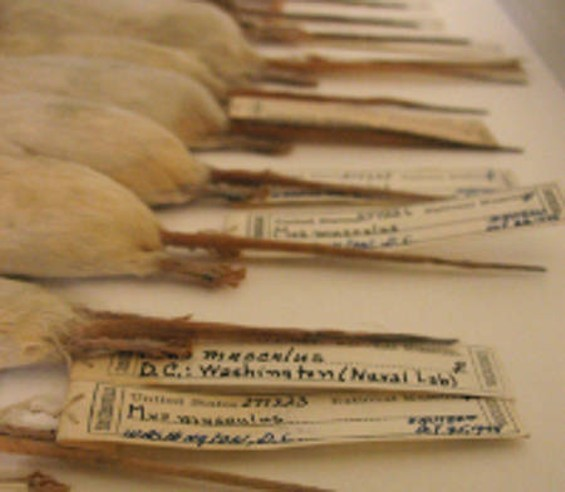 Laboratory mice? That's what we're guessing. This item, Mus musculus domesticus, is from the collection of the Smithsonian.