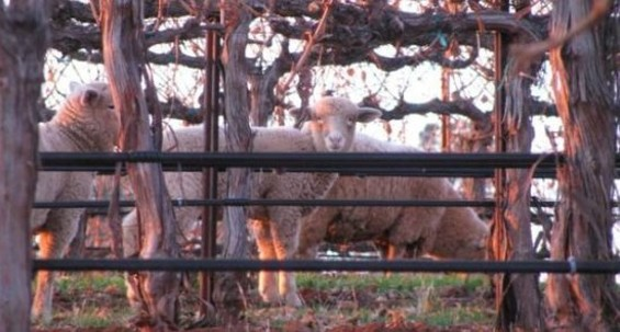 Lamb peeks through the vines at Shannon Ridge