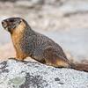 Mountain-Born Marmot Hopes for Better Life in San Francisco