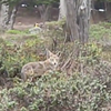 Local Dad Says San Francisco Coyote Tried to Eat His Kids (VIDEO)