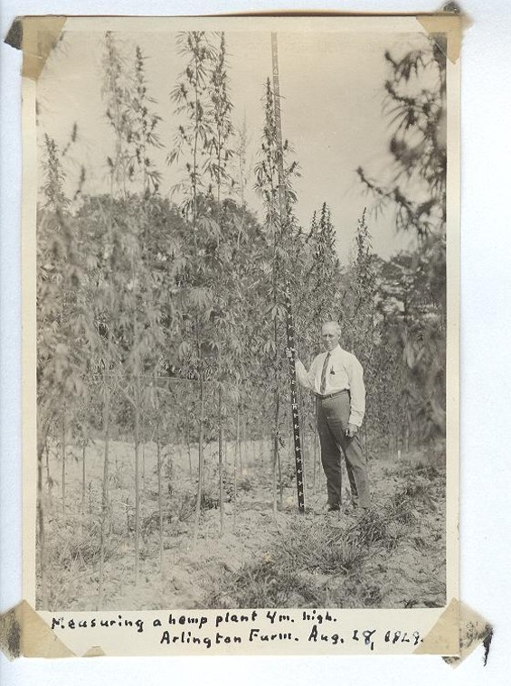 Lyster H. Dewey, a botanist at the U.S. Department of Agriculture, measures a four-meter high hemp plant in 1929. He planted a grove on the current site of the Pentagon. - COURTESY ADAM EIDINGER/HEMP HISTORY WEEK