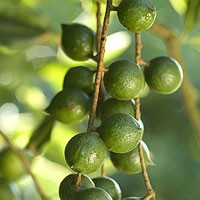 Macadamias in their green state at the MnM's farm. - MNM'S NUTHOUSE