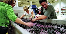 Neighborhood get-together: Sorting grapes at Crushpad. - CRUSHPAD