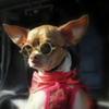 Virgin America To Help Homeless Chihuahuas Make It In New York