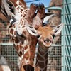 Newborn Giraffe Is <i>Really</i> Tall