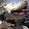 Nina the Pit Bull Put Down After Owner Enters Witness Protection