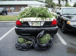 Part of policing pot is busting people who steal pot!