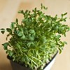 Your Seasonal Produce Guide: Pea Shoots