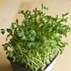 Your Seasonal Produce Guide: Pea Shoots