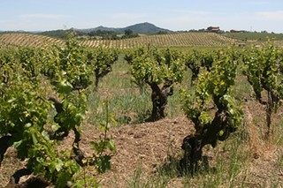 Petite Sirah vines at Ridge Vineyards' Dynamite Hill in the Napa Valley. - THE J TRAIN/FLICKR