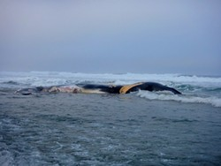 Poor surfing -- and a dead whale - STOKE REPORT