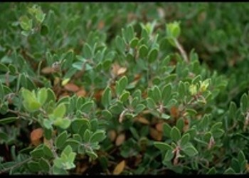 Rare Manzanita Plant <i>Finally</i> Gets Some Love From the Feds