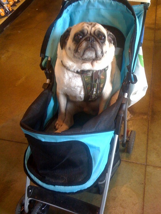 Pug, stroller, Safeway -- it's the triple crown - ALEXIA TSOTSIS