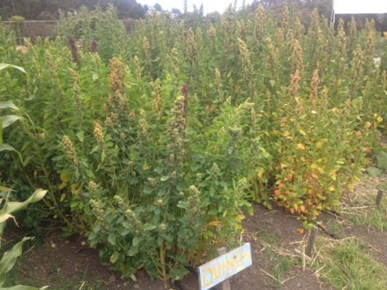 Quinoa crops at the ECOSF school farm. - DAVIN WENTWORTH-THRASHER