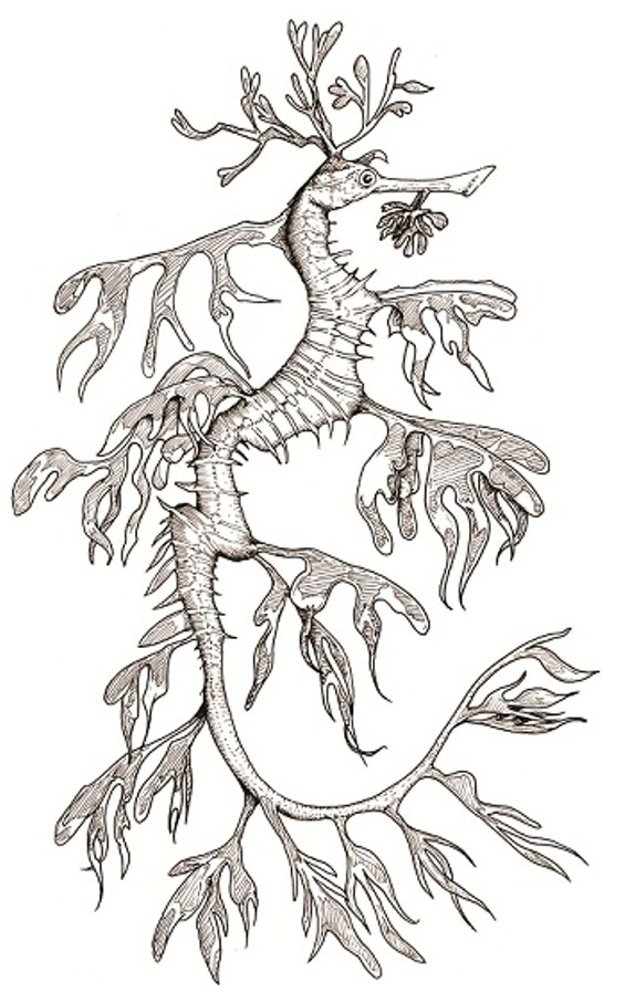 Related to the ever popular Seahorse, don't underestimate the Leafy Sea Dragon: a devout carnivore, the diminutive creature will use its pipe-like snout to suck small shrimp and fish into its toothless mouth.