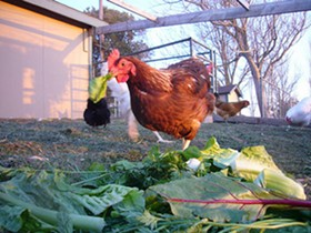 Rescue chickens at Harvest Home Sanctuary in Stockton. Okay these aren't turkeys, but they're just as cuddly. - HUMANE SOCIETY OF THE UNITED STATES/FLICKR