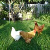 Backyard Chickens: Off-the-Grid Solution or Off-the-Charts Mistake?