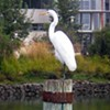 SF Weekly Birdwatching: Blue Heron Sighting at Mission Creek