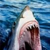 Shark Devours Sea Lion off Pacifica