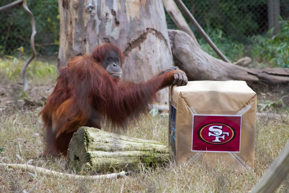 Central Valley Orangutan Predicts 49ers Will Definitely Win the ...