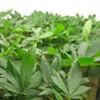 Feds Move to Close Harborside Health Center, California's Biggest Marijuana Dispensary