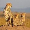 """African Cats"": Documentary Looks at Lives of Africa's Predator Felines"