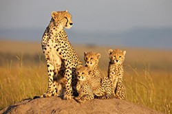 Single mother and adorable tykes: Sita and cubs.