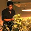 Steve Kubby, Prop 215 Author, Drafts New initiative to Decriminalize Marijuana