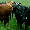 Straight from the Ranch, Part 1: Meat CSAs & Buying Networks