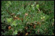 The Franciscan Manzanita: Once 'extinct,' now 'endangered'? - © CALIFORNIA ACADEMY OF SCIENCES