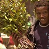 Khat, Now Banned In U.K., Flows Into the Bay Area