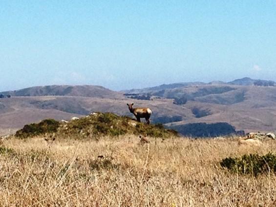 The Tule Elk is both voyeur and voyee.