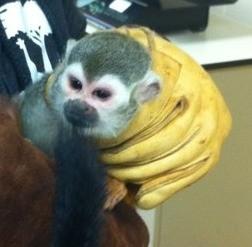 The zoo has Banana-Sam back in hand...