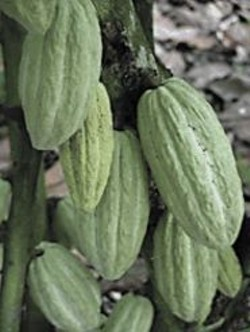 Theobroma cacao, in the flesh.