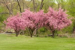 These crab apple trees could one day grow fat Galas or Cameos, too.
