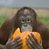 Oakland Zoo Animals Are Feasting on Your Halloween Leftovers