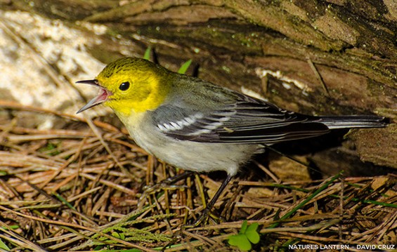 This is what a spokesman in the bird world looks like - DAVID CRUZ VIA NATURES LANTERN