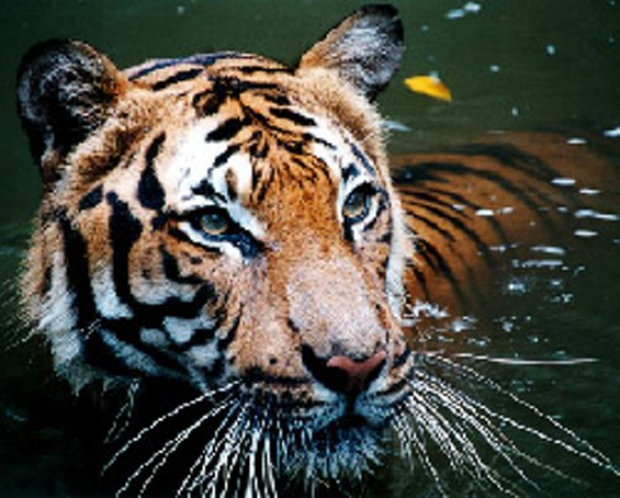 tiger_in_the_water.jpg
