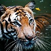 Tiger attack claims life of public hearing