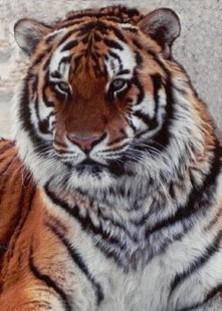 Tiger, beat