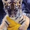 Tiger Cub at S.F. Zoo Makes an Adorable Debut