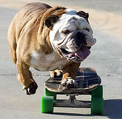 Tillman the skateboarding bulldog distracted office workers in Mission Bay today
