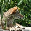Tips on How to Cohabit with Coyotes