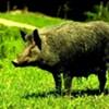 Tomorrow Night (Hopefully): Wild Boar Holidays by forageSF