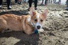 Corgi owners and enthusiasts came together to celebrate the short-legged canines this weekend at Ocean Beach for the annual Fall Nor Cal Corgi Con. Featuring corgi races, and a costume contest. Photographs by Michael Hendrickson.